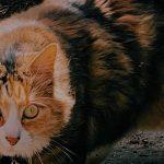 Nevhodné použitie GS441524 v snahe eliminovať mačací enterický koronavírus (FeCV) u zdravých mačiek