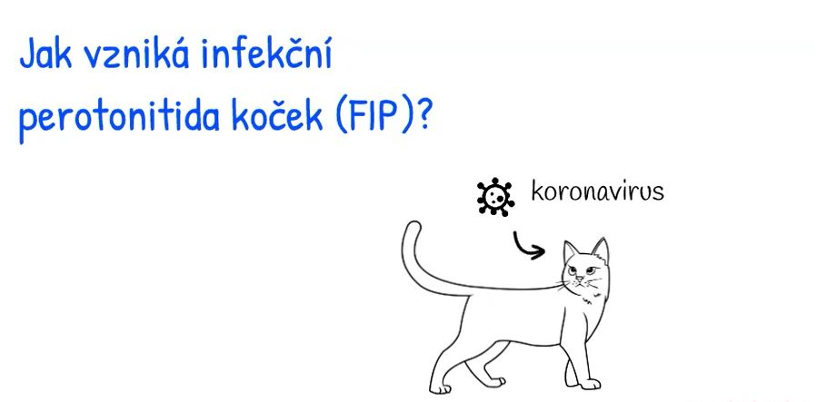 Jak vzniká infekční peritonitida koček