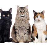 Prevalencia FIP u špecifických plemien mačiek