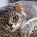 FIP u starých mačiek